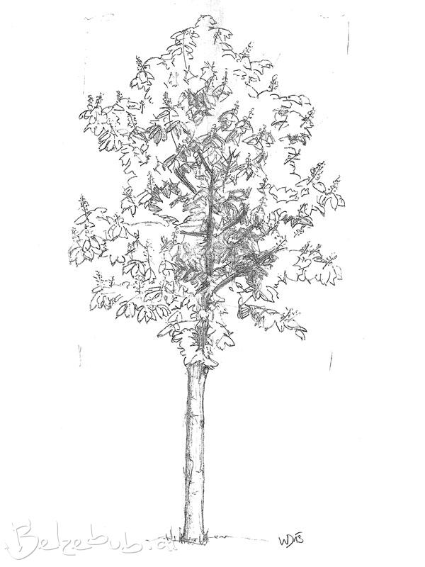 Naturstudie Kastanienbaum