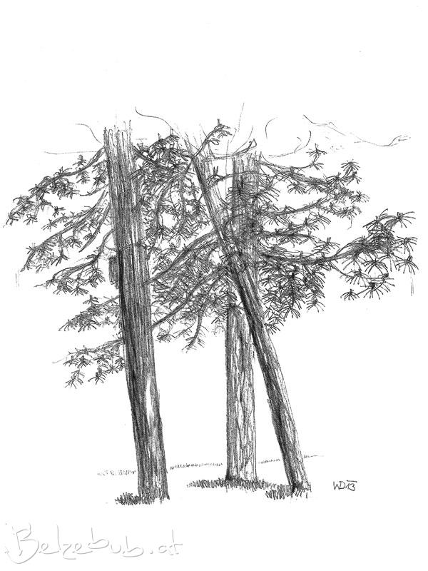 Naturstudie Nadelbaum